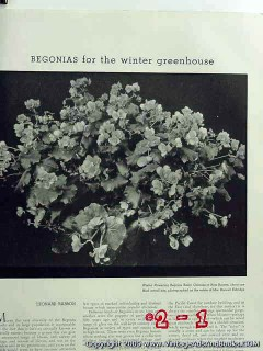 begonias for the winter greenhouse 1935 magazine vintage article