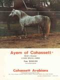 cohassett arabians 1972 ayem rifraff rumnani stud horse vintage ad
